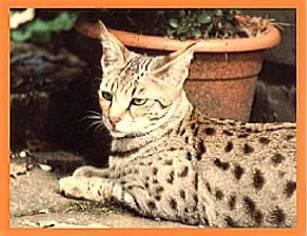 Kiwanga – die erste Savannah Katzenzucht Deutschlands